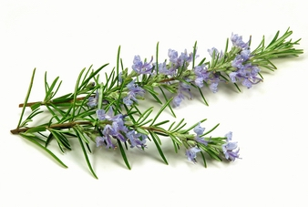 Rosemary Extract, Ursolic Acid, Carnosic Acid, Rosmarinic A