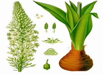 Squill Extract , Sea squill Extract, Sea onion Extract,  Mar