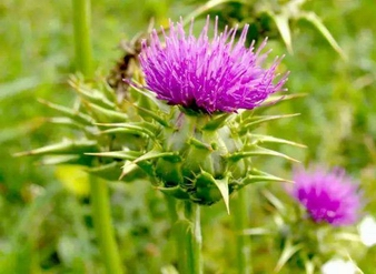 Milk Thistle Extract, Silymarin