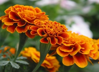 Lutein, xanthophyll, Marigold Extract