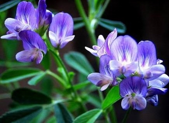 Alfalfa Extract, Medicago sativa Extract